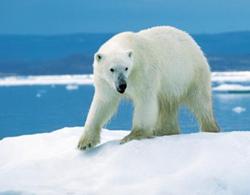 polar-bear-41