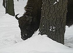 bisonte 2