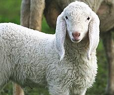 agnello 1