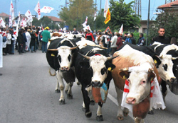 mucche corteo