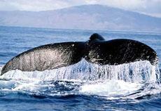 balena Mediterraneo