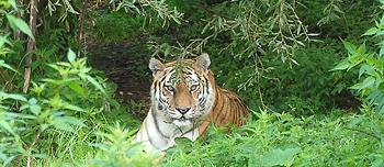 tigre siberiana a Primorski Krai