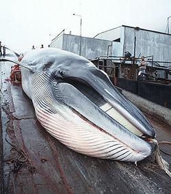 Minke whale, balenottera minore