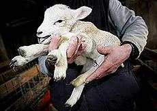 Quirra agnello