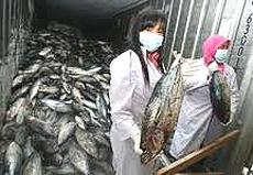 Giappone pesce radioattivo