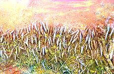 Spighe di grano utilizzate per i dipinti