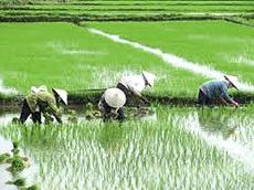 Coltivazione del riso in Vitenam