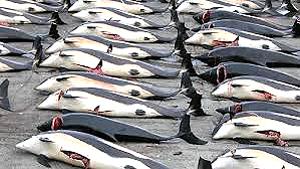 mattanza di cetacei