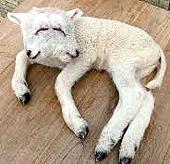 Un agnello nato deforme nelle campagne di Quirra
