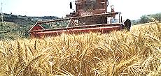 Estensioni di grano in Ucraina