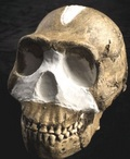 Il cranio del Naledi
