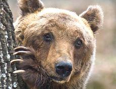 L'orso bruno marsicano, simbolo del Parco Nazionale d'Abruzzo
