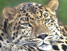 Leopardo dell'Amur