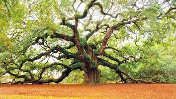 L'immensa quercia di Charleston, in South Carolina