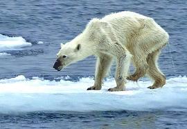 Orso polare denutrito
