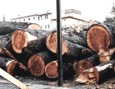 Strage di alberi a Poggibonsi