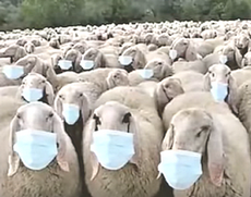 Pecore mascherina